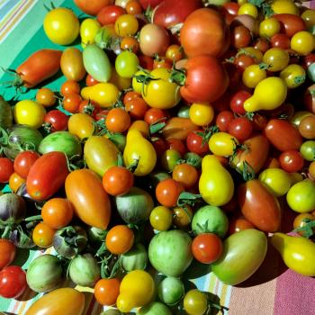 Cherry Tomatoes from the NMSU Learning Garden at the NMSU Ag Science Center at Los Lunas