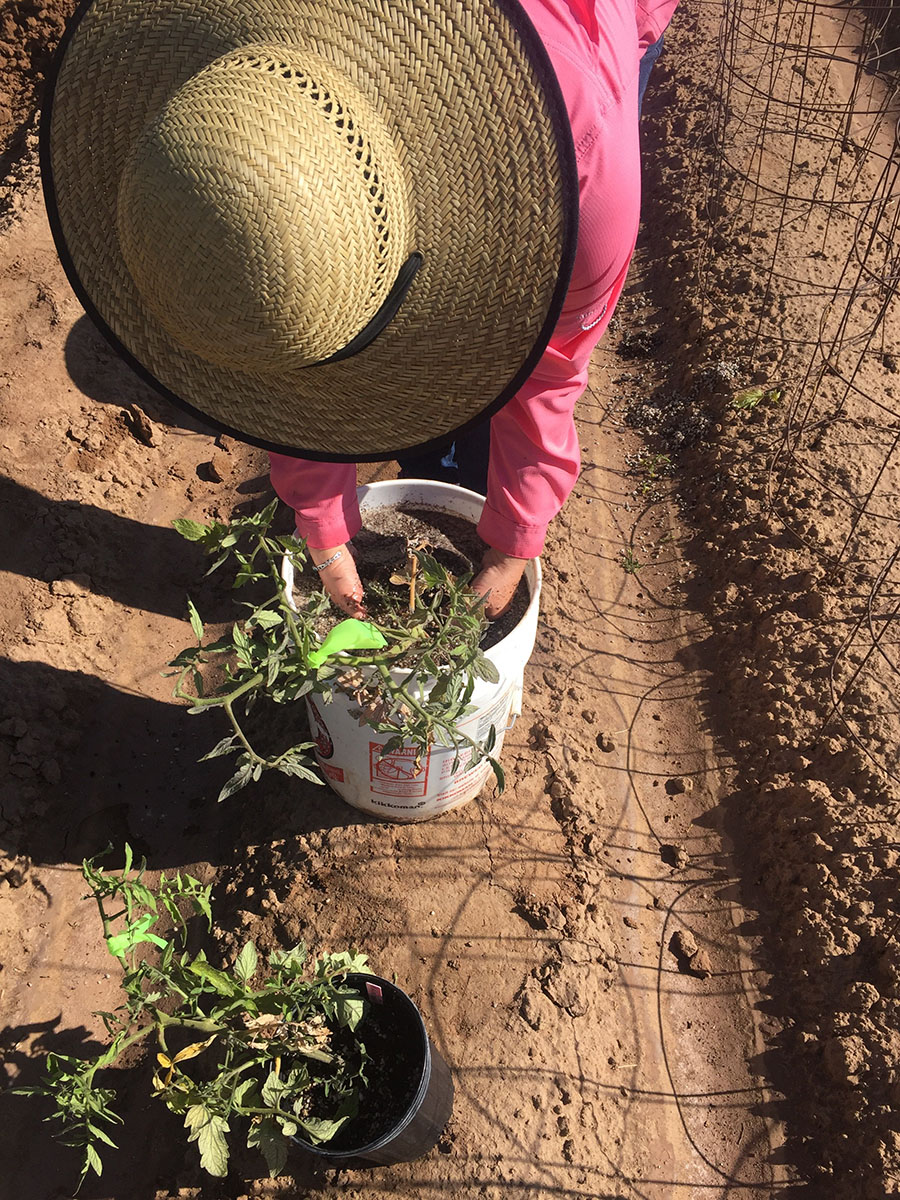 Dr. Marisa Thompson removes soil to expose the root for research